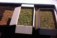 Toiture vegetalisee2